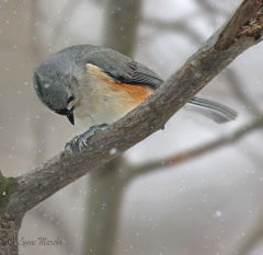 TUFTED TITMOUSE PRAYS FOR WARMER WEATHER