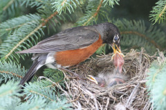 Robin Parents tending their babies