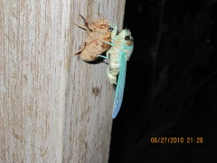cicada coming out of shell