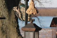Downy Woodpeckers lunch along river