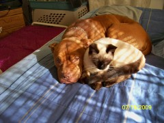 Pit Bull and Simese cat relaxing