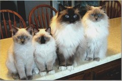 THE RAGDOLL GANG, WAITING FOR SANTA !