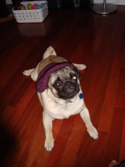 Walle the cute pug