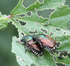 JAPANESE BEETLES IN THE YARD
