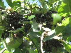 Japanese beetle invasion in Edelstein