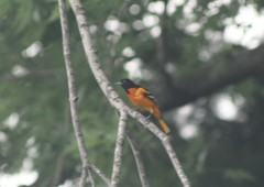 Baltimore Oriole Nest in Bloomington