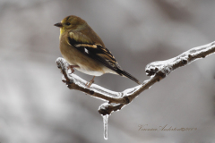 American Gold Finch on Icy Branch