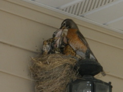 Robin family on our front porch