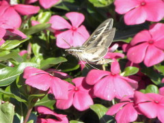 Hummingbird moth enjoying nectar!