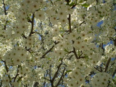 Flowering Pear Trees in Savannah Green