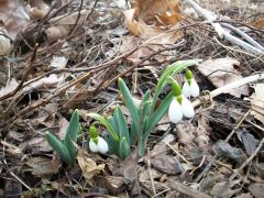Harbinger of Spring