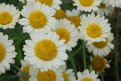 Anthemis in bloom