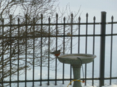 Robin on January 14th, is it spring?