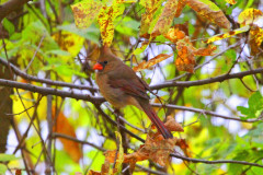 Nice Fall Picture Of Female Cardinal!
