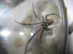 Creepy Discovery...Black Widow Spider