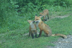 Red Foxes Playing