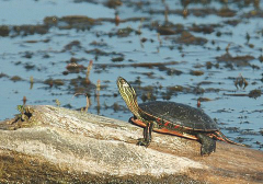 Turtle Sunbathing