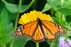 Monarch season soon over