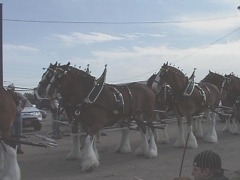 Anheuser Busch Clydesdales in Washington