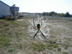 Spider during harvest.