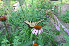 It's the time of year for swallowtails