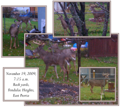 Large buck and his lady in fenced yards!