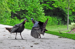 Turkey fight on Fondulac Drive