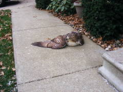 Hawk OK after flying into glass door