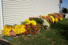 Mums the word this Fall