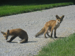 Twin Baby Foxes