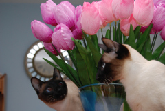 Spring Photo - Tulips and Siamese Cats