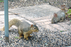 Rabbit interupts squirrel's browsing