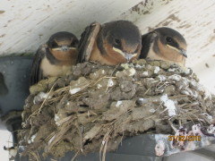 Barnswallows nested above our garage!W