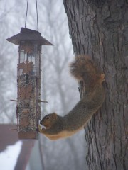 Squirrel Getting a Winter Snack