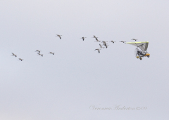 OM Ultra-light leads 20 Whooping Cranes