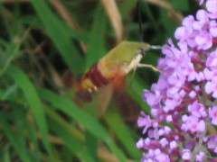 Hummingbird Hawk Moth Having Lunch