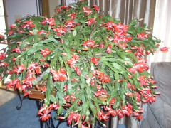 Christmas Cactus in October /Mary Adams
