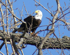 Eagles Return To Pekin