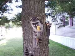 3 raccoons up a tree in my back yard.