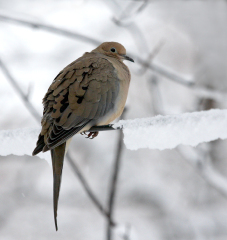DOVE IN MORNING SNOW