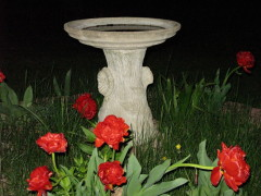 Double Tulips and Birdbath at Night