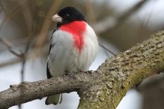 Rose Breasted Male Grosbeak