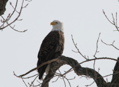 Eagle sitting in tree near Chillicothe