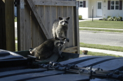 Coons trapped in dumpster saved....