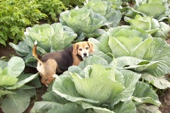 Kacy guards the cabbage