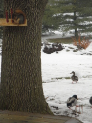 squirrel eat corn, ducks came to join in