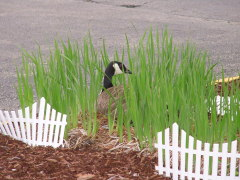 Goose nesting at Northpoint