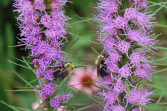 two bees feeding on liatris