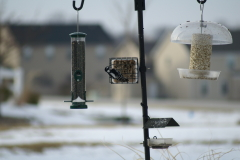 Downy Woodpecker enjoying some suet