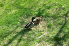 Mr. & Mrs. Duck Spring Vacation